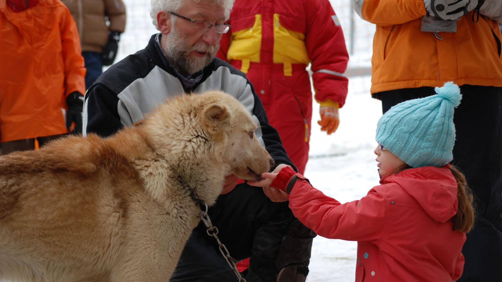 Approche des chiens avec le musher
