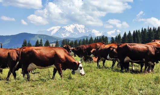 Vache laitière en alpage