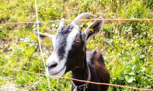 Chèvre à Bogneuve