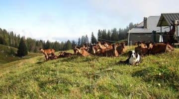 troupeau de chèvre Biochèvre