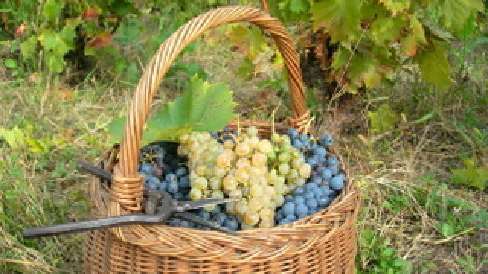 Panier, raisins et sécateur
