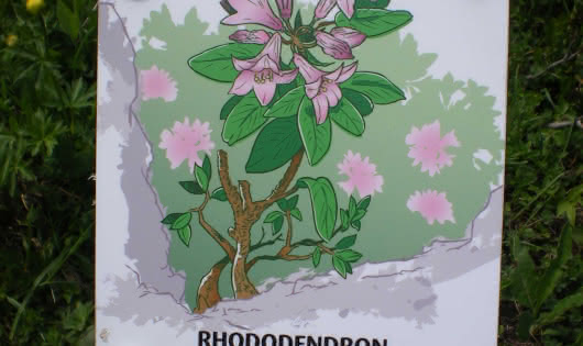 Rhododendrons, montagne et lac