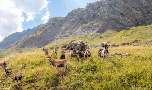 Chèvres à Bogneuve