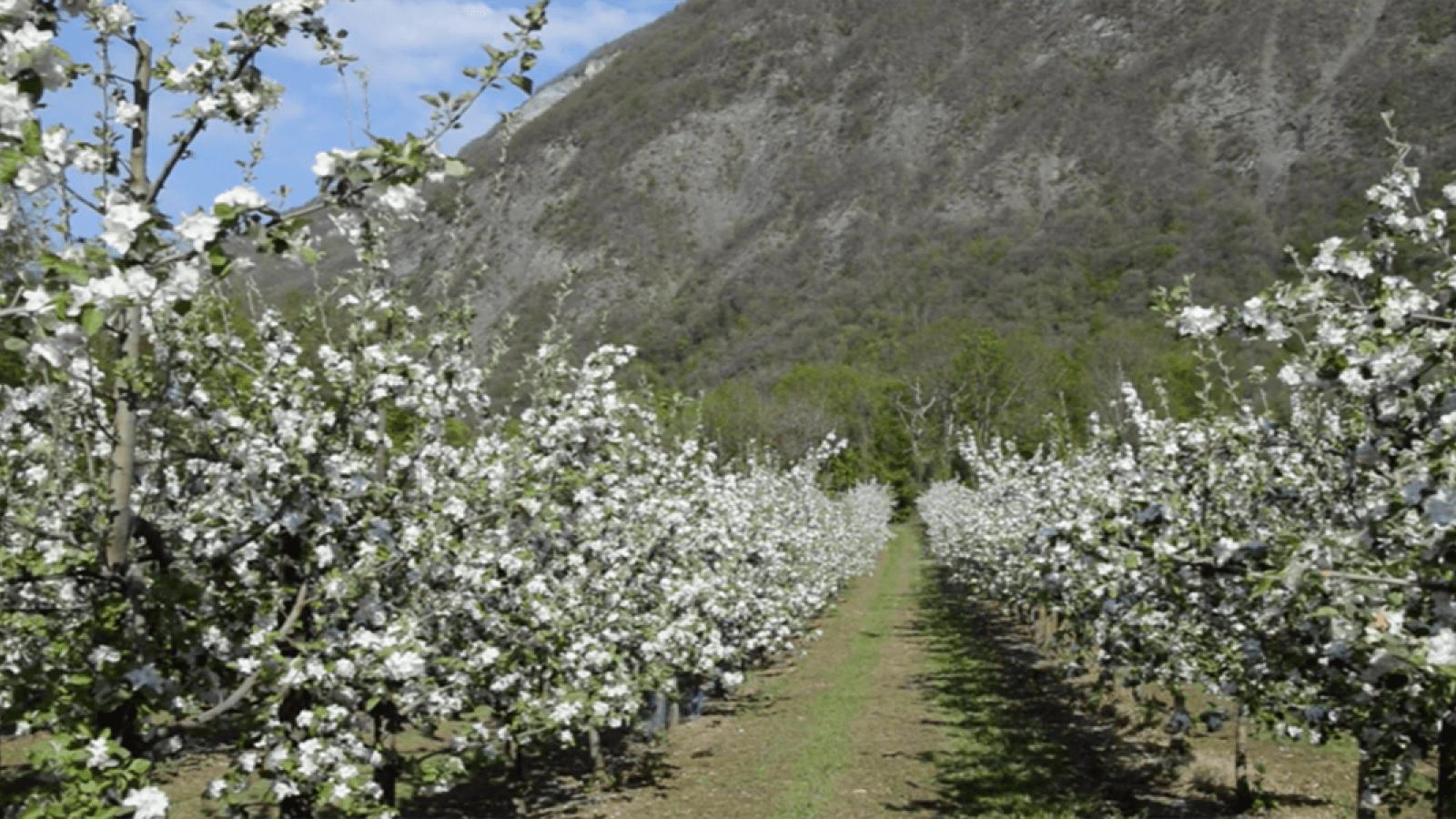 Les champs de pommiers en fleurs