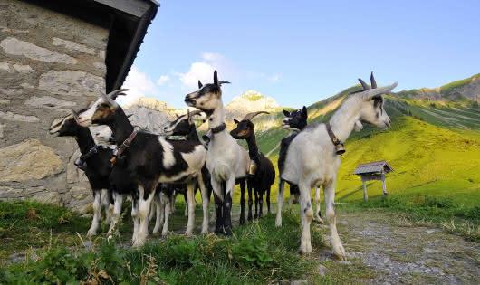 Chèvres en alpage
