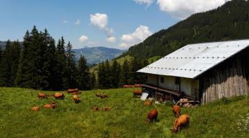 troupeau vaches Col du pR2