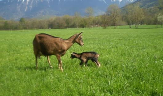 chèvre et son petit